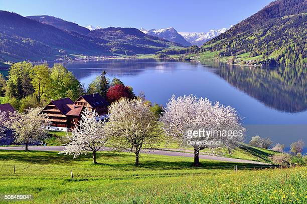 Views of Morgarten on Aegerisee, flowering cherry trees in the foreground, Oberageri, Canton of Zug, Switzerland