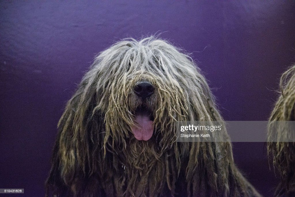 Viggo a Bergamasco who was named best of breed in the first round during the annual Westminster Kennel Club dog show sits at Madison Square Garden on...