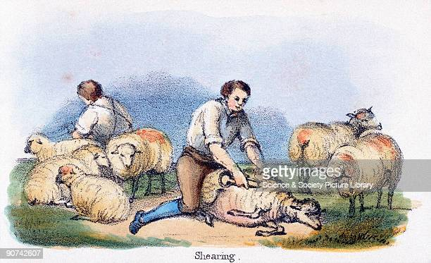 Vignette from a coloured lithographic plate showing men shearing sheep with handshears Taken from 'The Sheep' in 'Graphic Illustrations of Animals...