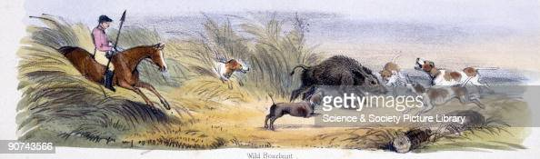 Vignette from a lithographic plate showing a hunter and his dogs chasing a wild boar Taken from 'The Pig' in 'Graphic Illustrations of Animals...