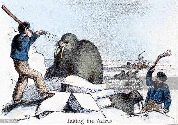 Vignette from a lithographic plate showing a man throwing grit at a walrus before clubbing it to death Taken from 'The Seal and Walrus' in 'Graphic...