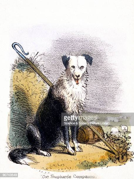 Vignette from a lithographic plate showing a sheep dog sitting beside a shepherd�s crook with a field of sheep in the background Taken from 'The Dog'...