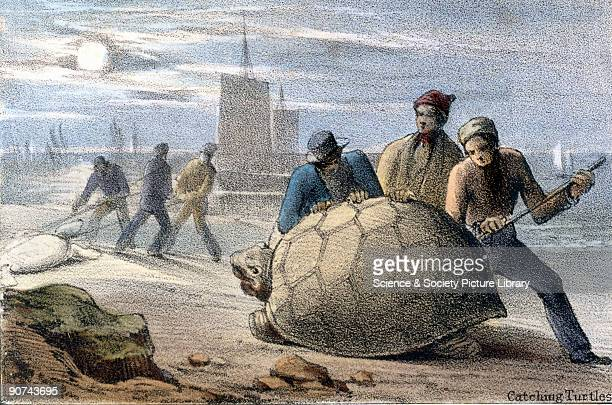 Vignette from a lithographic plate showing groups of men rolling giant turtles onto their backs to prevent them from escaping Taken from 'The...