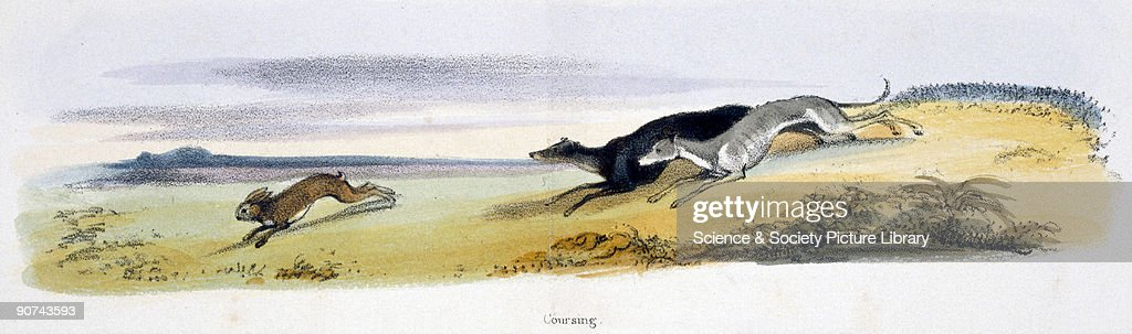 Vignette from a lithographic plate showing two dogs chasing a hare Taken from 'The Hare and Rabbit' in 'Graphic Illustrations of Animals showing...