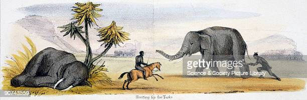Vignette from a lithographic plate showing two men one on horseback attacking an elephant Elephants are hunted for the ivory tusks which grow...