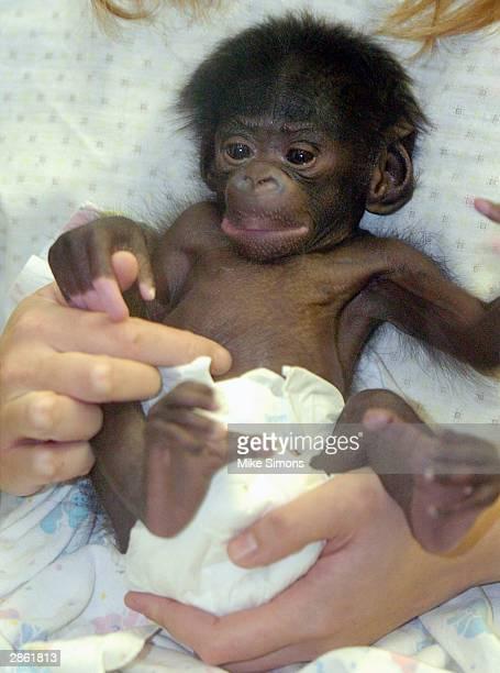 Vijay a 15dayold Bonobo or pigmy chimpanzee is held at the Cincinnati Zoo and Botanical Garden January 12 2003 in Cincinnati Ohio Vijay is the fourth...