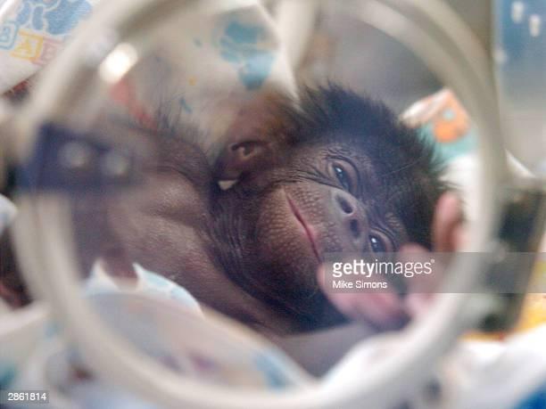 Vijay a 15dayold Bonobo or pigmy chimpanzee sits in an incubator at the Cincinnati Zoo and Botanical Garden January 12 2003 in Cincinnati Ohio Vijay...