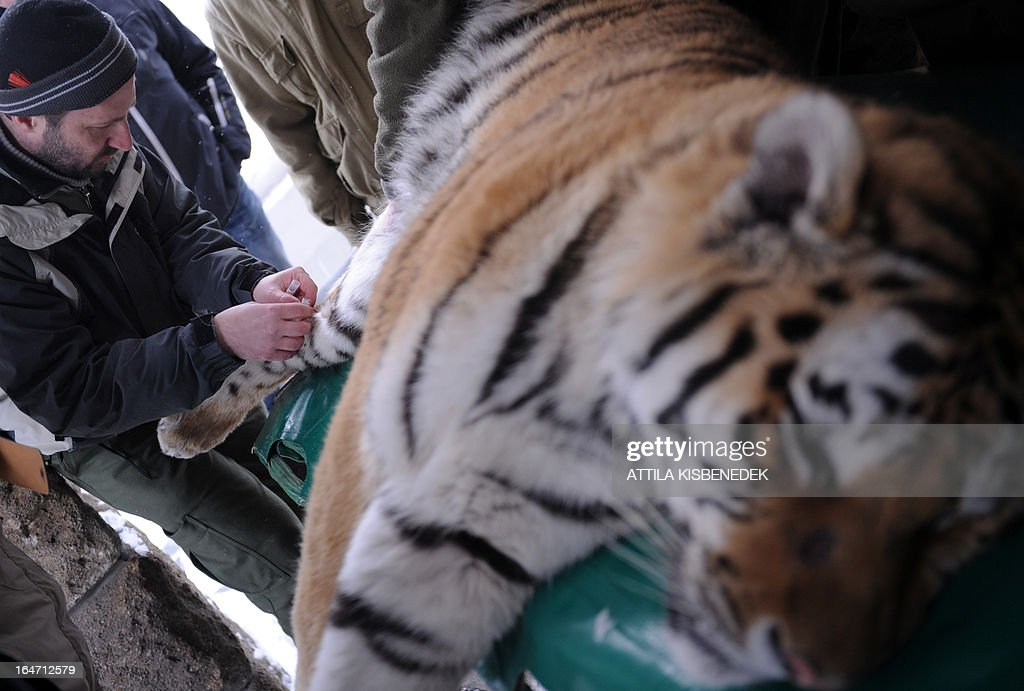 Viktor Molnar, veterinarian of the Budapest zoo, takes a blood sample from Siberian tiger 'Thrax' on March 27, 2013 at the Budapest Zoo and Botanic Garden as preparations are under way for the transport of three Siberian tigers to their new home, the ZOOM Erlebniswelt in Gelsenkirchen, western Germany. The tigers were born on May 10, 2011 here at the zoo of the Hungarian capital Budapest.