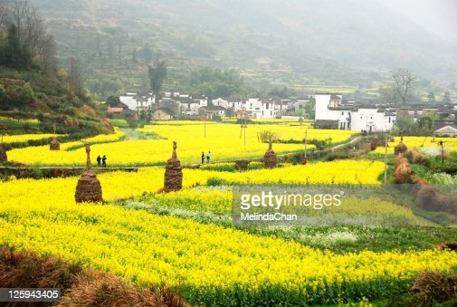 Village around with yellow rapeseed flowers