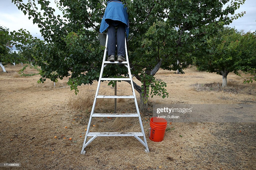 Village Harvest volunteer Bolina Zapreyeva from Adobe Systems, stands on a ladder as she picks apricots during the harvest of apricot trees at Guadalupe Historic Orchard on June 25, 2013 in San Jose, California. Village Harvest and other San Francisco Bay Area nonprofit groups are volunteering to pick excessive fruit from homeowners' yards and other plots of land to donate to food banks, soup kitchens and organizations that help the needy. Urban harvesting, or gleaning, aims to collect fruit that normally goes to waste after it goes unpicked and falls to the ground. Village Harvest has donated thousands of pounds of fruit to local organizations.