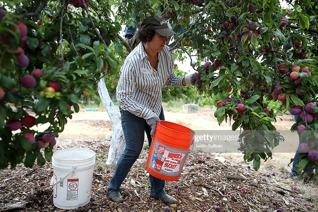 Village Harvest volunteer Jennifer Deghue prepares to pick plums during the harvest of apricot and plum trees at Guadalupe Historic Orchard on June 25, 2013 in San Jose, California. Village Harvest and other San Francisco Bay Area nonprofit groups are volunteering to pick excessive fruit from homeowners' yards and other plots of land to donate to food banks, soup kitchens and organizations that help the needy. Urban harvesting, or gleaning, aims to collect fruit that normally goes to waste after it goes unpicked and falls to the ground. Village Harvest has donated thousands of pounds of fruit to local organizations.