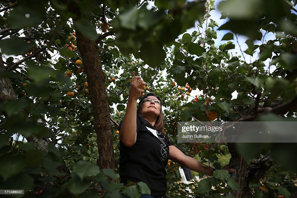 Village Harvest volunteer Lorie Santos from Adobe Systems, picks apricots during the harvest of apricot trees at Guadalupe Historic Orchard on June 25, 2013 in San Jose, California. Village Harvest and other San Francisco Bay Area nonprofit groups are volunteering to pick excessive fruit from homeowners' yards and other plots of land to donate to food banks, soup kitchens and organizations that help the needy. Urban harvesting, or gleaning, aims to collect fruit that normally goes to waste after it goes unpicked and falls to the ground. Village Harvest has donated thousands of pounds of fruit to local organizations.