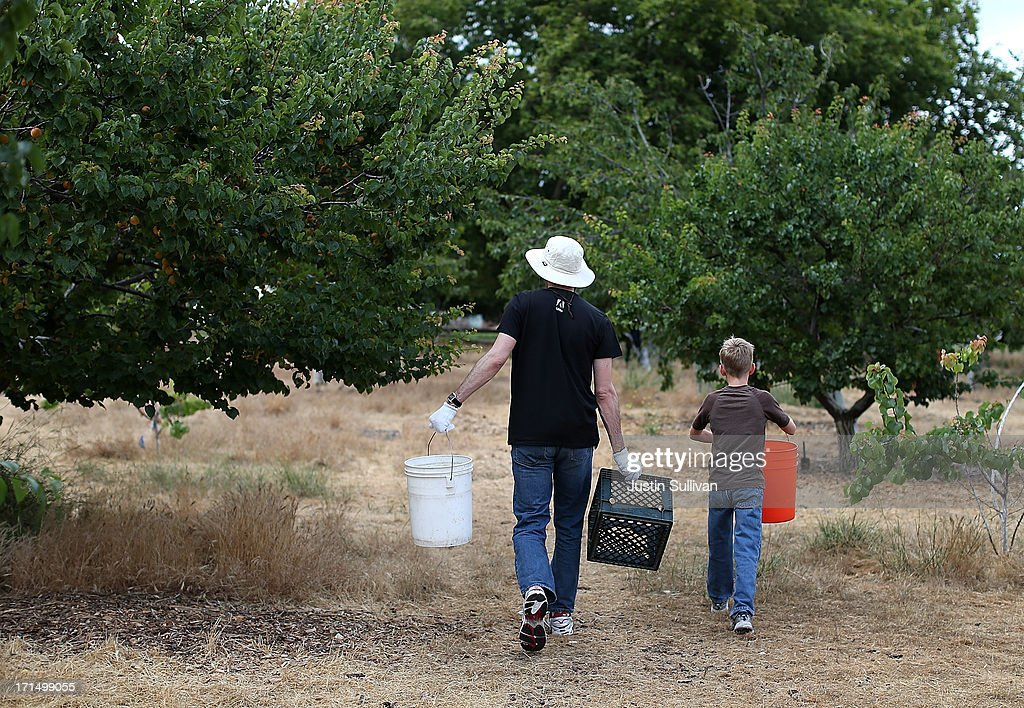 Village Harvest volunteer Neil Enns (L) from Adobe Systems, and nine year-old Nick Hays (R) prepare to pick apricots during the harvest of apricot trees at Guadalupe Historic Orchard on June 25, 2013 in San Jose, California. Village Harvest and other San Francisco Bay Area nonprofit groups are volunteering to pick excessive fruit from homeowners' yards and other plots of land to donate to food banks, soup kitchens and organizations that help the needy. Urban harvesting, or gleaning, aims to collect fruit that normally goes to waste after it goes unpicked and falls to the ground. Village Harvest has donated thousands of pounds of fruit to local organizations.
