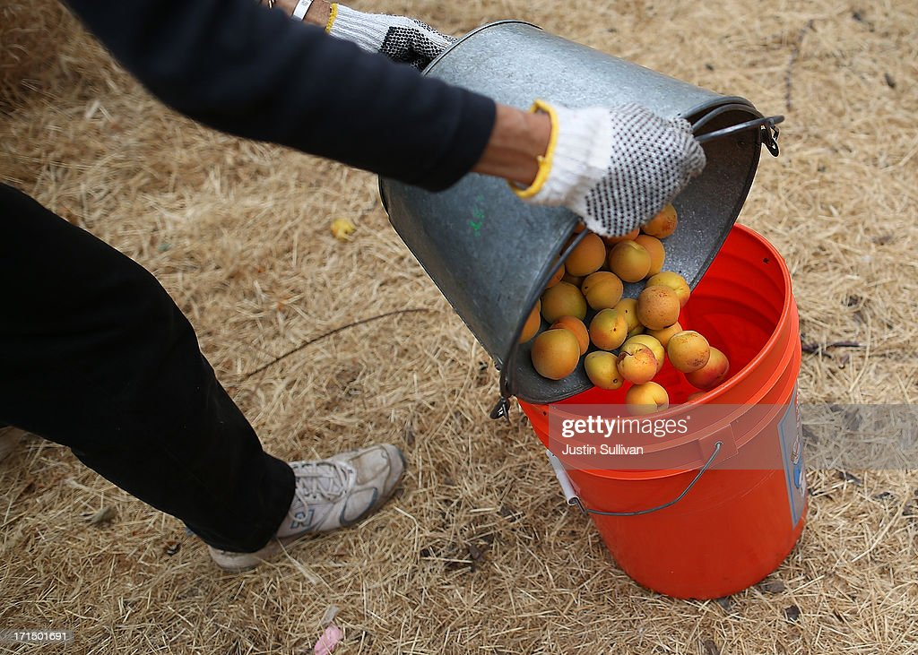 Village Harvest volunteer Pat Neukom dumps freshly picked apricots into a bucket during the harvest of apricot and plum trees at Guadalupe Historic Orchard on June 25, 2013 in San Jose, California. Village Harvest and other San Francisco Bay Area nonprofit groups are volunteering to pick excessive fruit from homeowners' yards and other plots of land to donate to food banks, soup kitchens and organizations that help the needy. Urban harvesting, or gleaning, aims to collect fruit that normally goes to waste after it goes unpicked and falls to the ground. Village Harvest has donated thousands of pounds of fruit to local organizations.