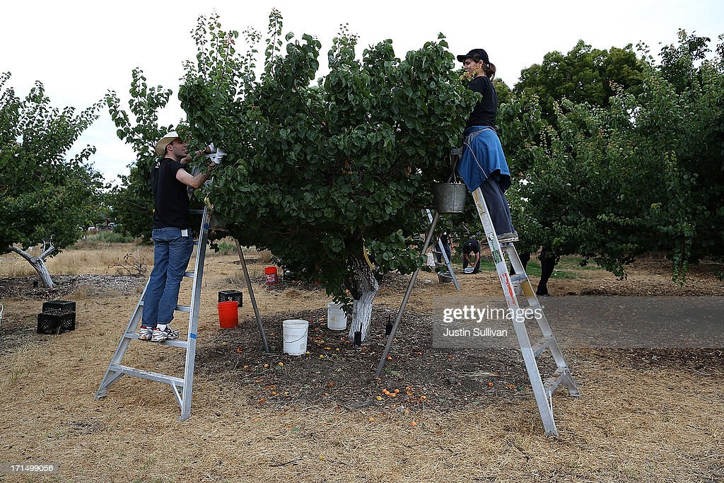 Village Harvest volunteers Bolina Zapreyeva (R) and Neil Enns (L) from Adobe Systems, stand on ladders as they pick apricots during the harvest of apricot trees at Guadalupe Historic Orchard on June 25, 2013 in San Jose, California. Village Harvest and other San Francisco Bay Area nonprofit groups are volunteering to pick excessive fruit from homeowners' yards and other plots of land to donate to food banks, soup kitchens and organizations that help the needy. Urban harvesting, or gleaning, aims to collect fruit that normally goes to waste after it goes unpicked and falls to the ground. Village Harvest has donated thousands of pounds of fruit to local organizations.