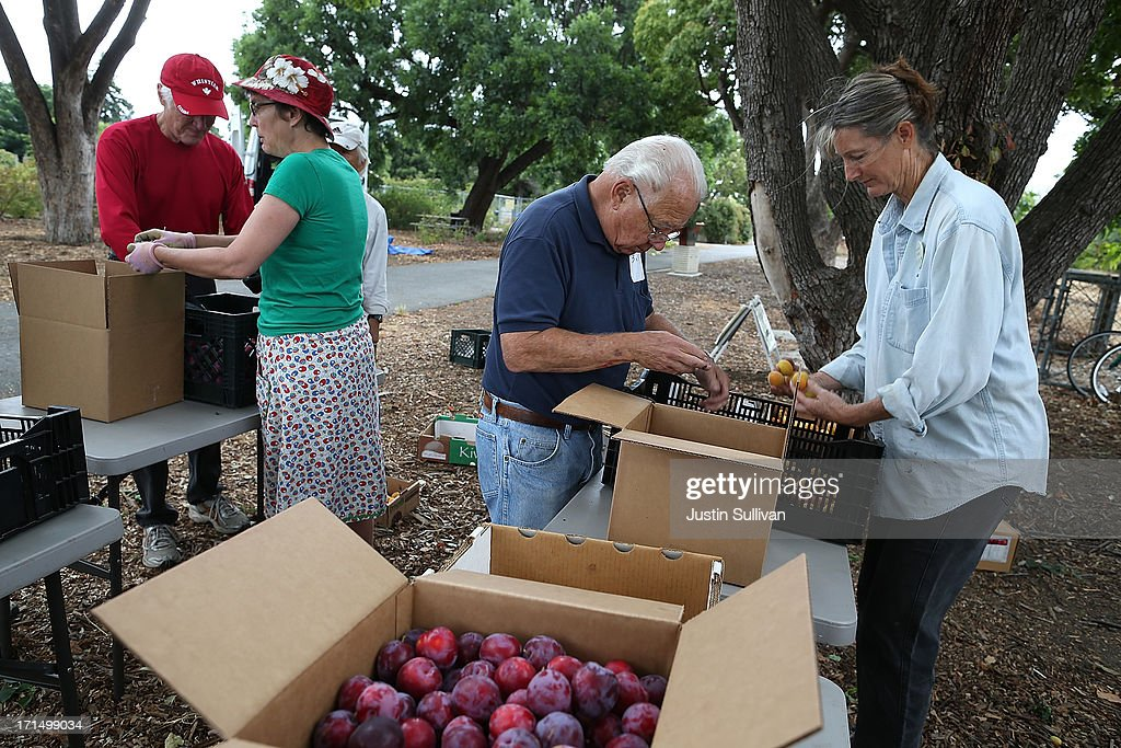 Village Harvest volunteers sort through and pack freshly picked apricots and plums during the harvest of apricot trees at Guadalupe Historic Orchard on June 25, 2013 in San Jose, California. Village Harvest and other San Francisco Bay Area nonprofit groups are volunteering to pick excessive fruit from homeowners' yards and other plots of land to donate to food banks, soup kitchens and organizations that help the needy. Urban harvesting, or gleaning, aims to collect fruit that normally goes to waste after it goes unpicked and falls to the ground. Village Harvest has donated thousands of pounds of fruit to local organizations.