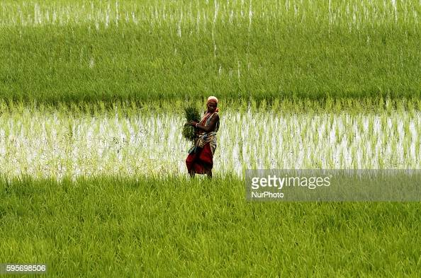 Village living farmers look at the agricultural paddy fields as they walks back home after finished todays agricultural works outskirts of the...