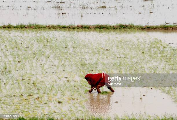 Village living women look at the agricultural paddy field as they are busy in the paddy saplings replanting works after the monsoon downpour...