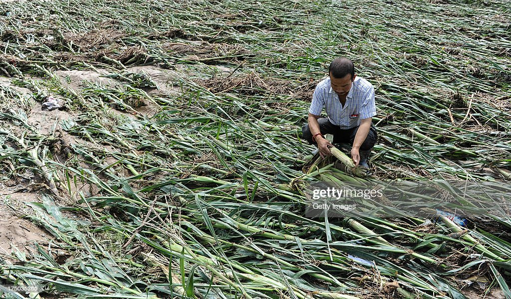 A villager collects ears of corn at a damaged corn field on July 29, 2013 in Tianshui, China. At least 24 people were killed, with one person still missing, after rainstorm-triggered floods and landslides hit many areas of Tianshui city recently.