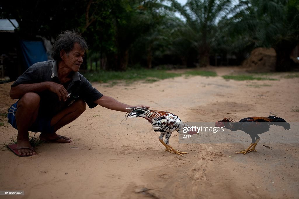 A villager lets his cocks fight in Tanjung Labian in the area where the suspected Philippine militants are holding off, near Lahad Datu on the Malaysian island of Borneo, on February 17, 2013. Malaysia's government said on February 14 that its security forces have surrounded dozens of suspected Philippine militants in a remote area with a history of incursions by armed Filipino Islamic groups. AFP PHOTO / MOHD RASFAN