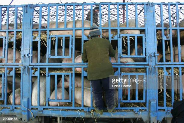 A villager locks the truck barrier after pigs loaded in a pig farm on January 17 2008 in the outskirts of Lishu County of Jilin Province northeast...