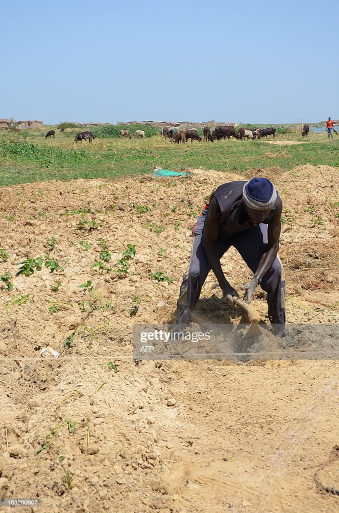 A villager of Blaram, northern Cameroon, digs on March 1, 2013 as he grows manioc since the villagers are fishermen as well as farmers. Cows and buffalos in the background belong to migrating nomads.
