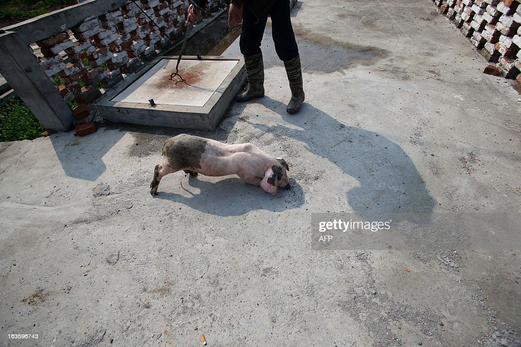 A villager prepares to put a sick pig into decontamination storage in a town in Jiaxing municipality, east China's Zhejiang province on March 13, 2013. The number of dead pigs found in Shanghai's main river has doubled in two days to nearly 6,000, the government said, as residents worried over the water supply questioned the handling of the incident. Shanghai has pointed the finger at Jiaxing in the neighbouring province of Zhejiang, a major centre for hog-raising, but officials from the area sought to deny it was the source. CHINA