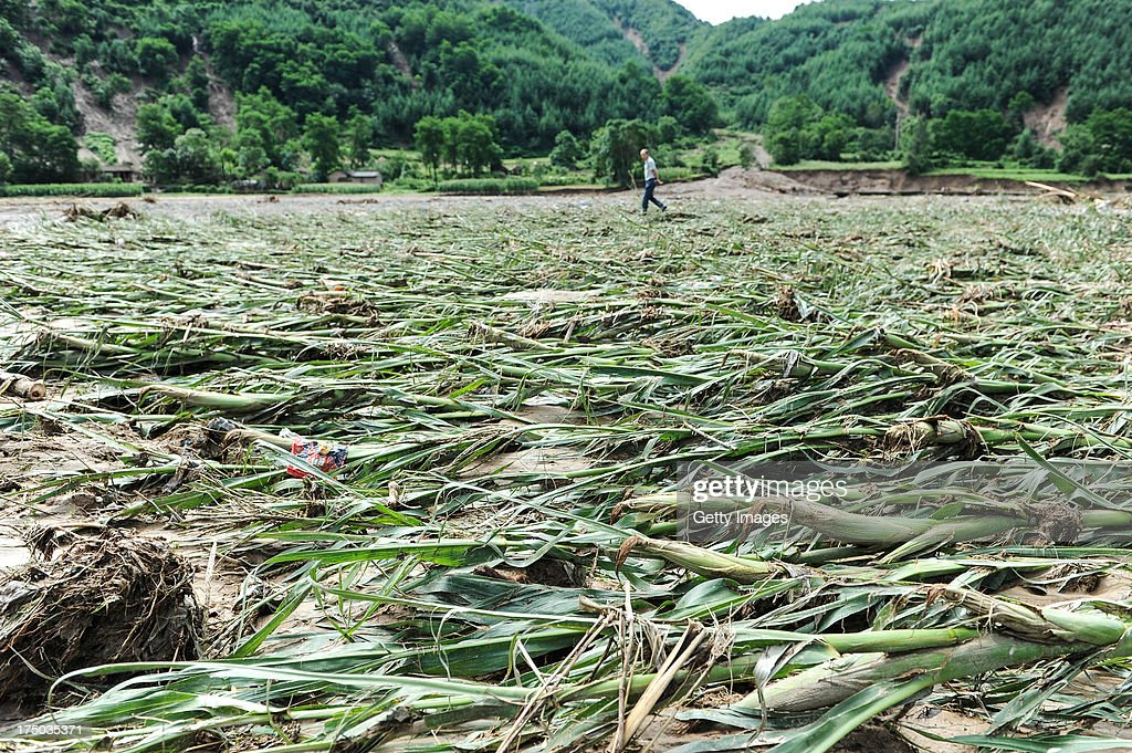 A villager walks through a damaged corn field on July 29, 2013 in Tianshui, China. At least 24 people were killed, with one person still missing, after rainstorm-triggered floods and landslides hit many areas of Tianshui city recently.