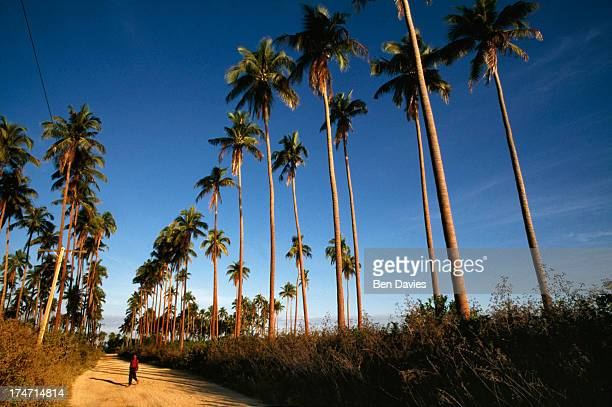 BOLINAO PANGASINAN PHILIPPINES A villager walks through a tropical paradise of swaying palm trees along the west coast of Luzon the largest island in...