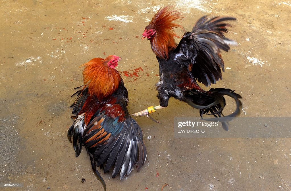 how to make cockfighting gaffs