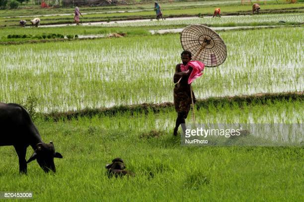 Villagers hold handmade traditional umbrella as they keep watches to their cattle grazing in the green field outskirts of the eastern Indian state...