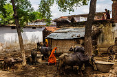 Villagers tend to cows in the village of Dharnai in Jehanabad Bihar India on Thursday July 9 2015 While Prime Minister Narendra Modi's ambition has...