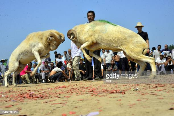 Villagers watch a goat fight at Yanggu County on September 12 2017 in Liaocheng Shandong Province of China Over 200 goats from about 20 counties took...
