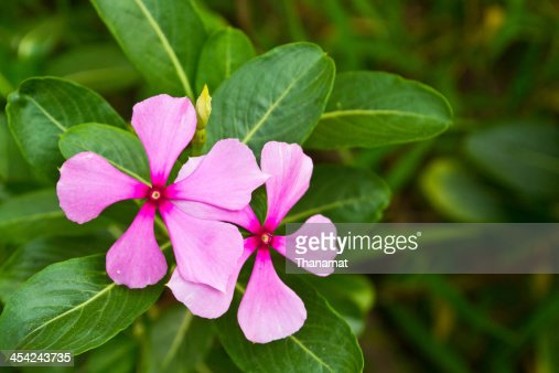 Vinca flower in gargen : Stock Photo