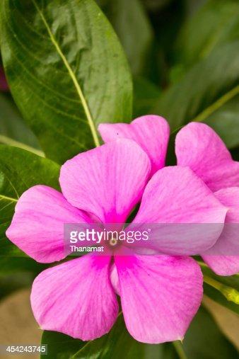 Vinca flower in gargen : Stock Photo