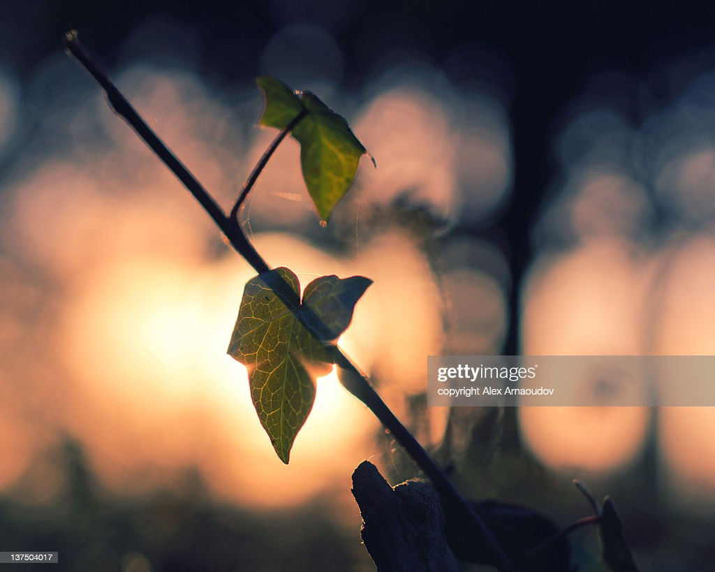 Vine at night in Walpole park, Ealing : Stock Photo