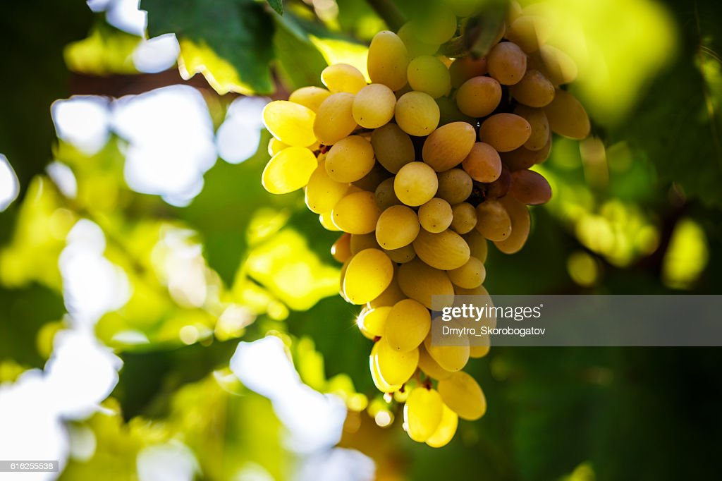 vine bathed in the morning sun : Foto de stock