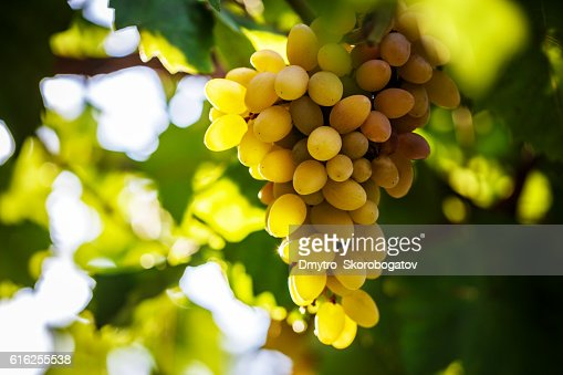 vine bathed in the morning sun : Foto de stock