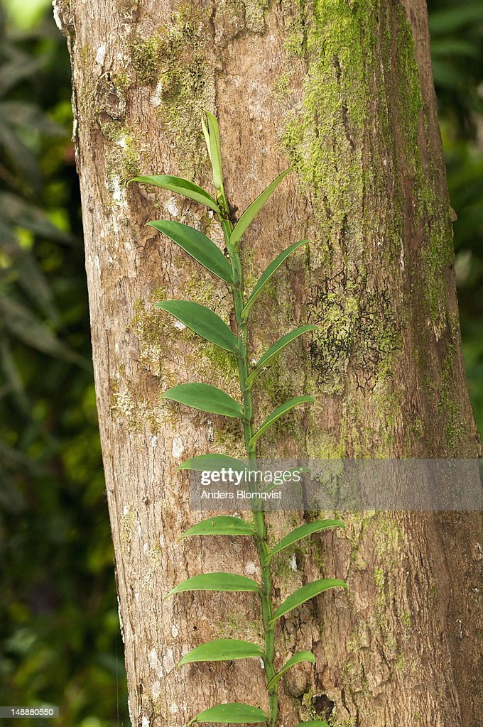 Vine climbing up tree trunk in rainforest. : Stock Photo