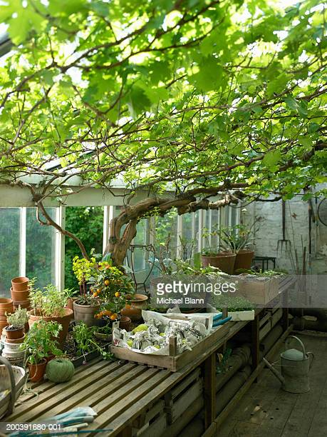 Vine growing in greenhouse containing pot plants and garden tools