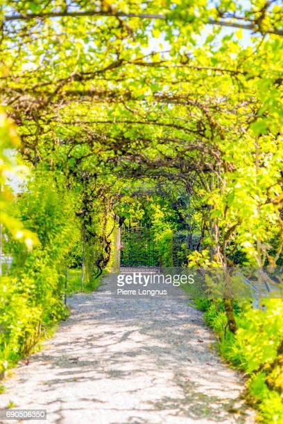 Vine Growing on Tunnel-Shaped Pergola in Garden