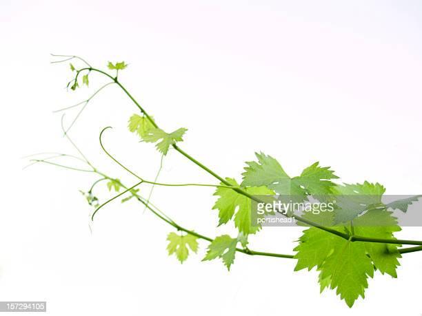 Plante grimpante et vigne