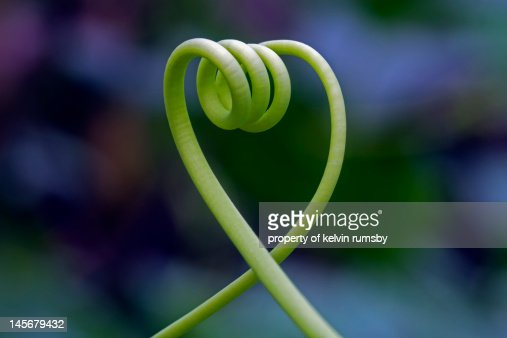 Vine tendril in a heart shape : Stock Photo