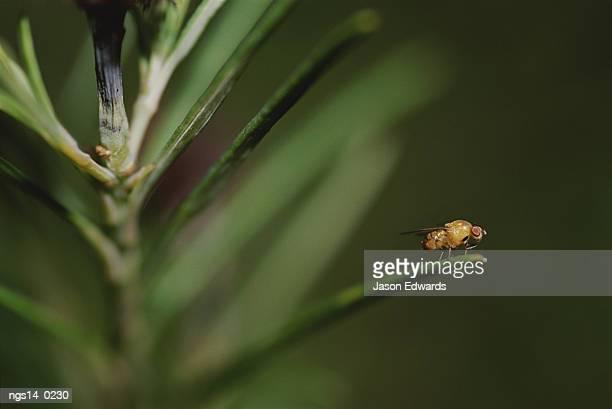 Vinegar fly (Drosophila melanogaster).