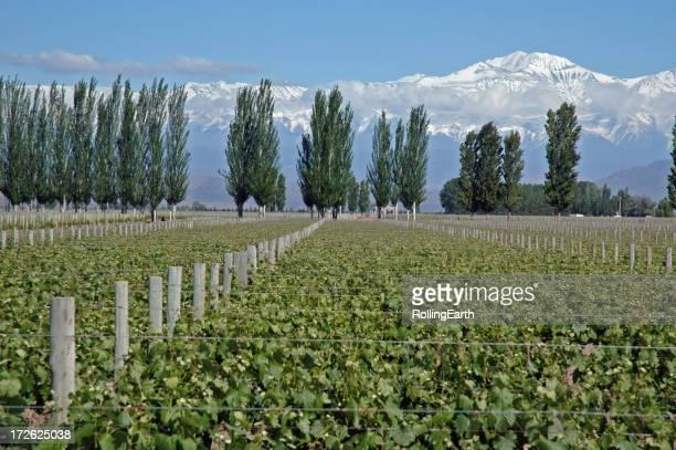Vines & Andes II