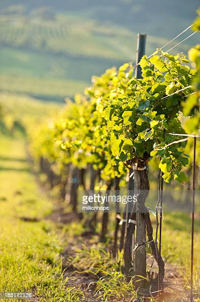 vines in a row