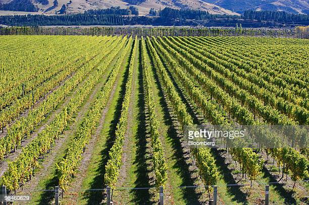 Vines line the Terra Vitae Seddon Vineyard in the Awatere Valley in Marlborough New Zealand on Wednesday April 14 2010 New Zealand's 2010 grape...