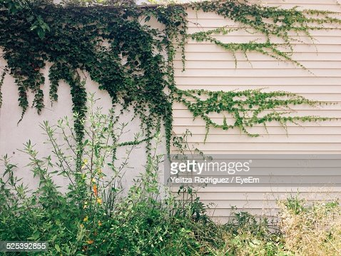Vines of Ivy On White Wall