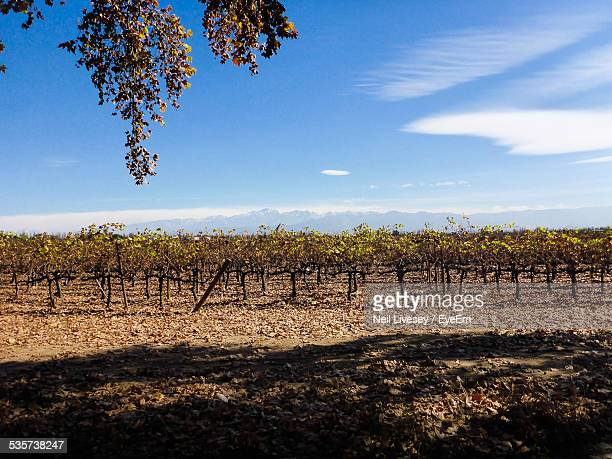 Vineyard Against Blue Sky On Sunny Day