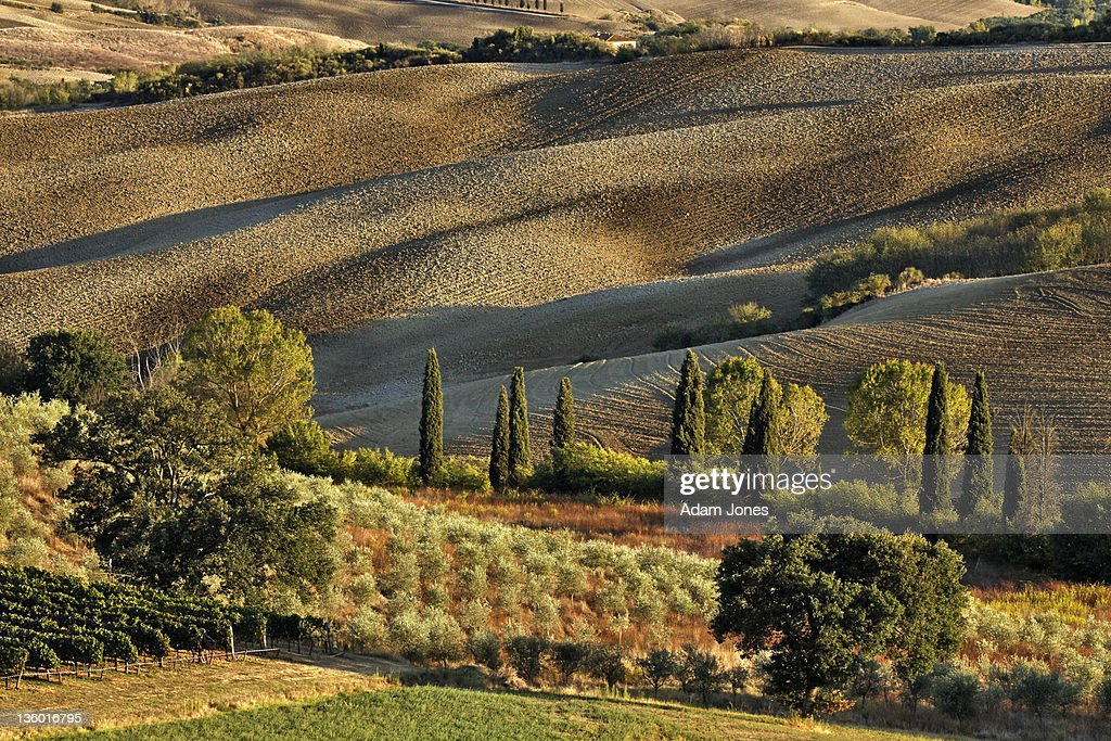 Vineyard and olive groves among agricultural field : Stock Photo